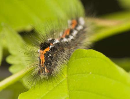 Euproctis similis Stock Photo - 9666144