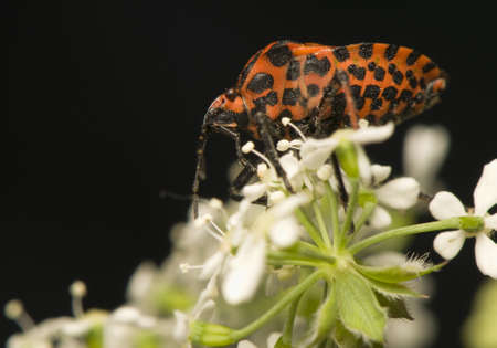 lineatum: Graphosoma lineatum Stock Photo