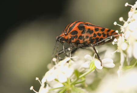 Graphosoma lineatum Stock Photo - 9889325
