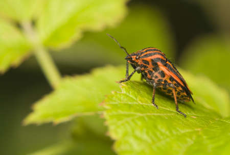 Graphosoma lineatum Stock Photo - 9889334