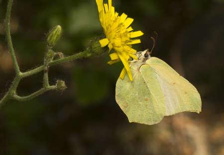 Gonepteryx rhamni Stock Photo - 9889351