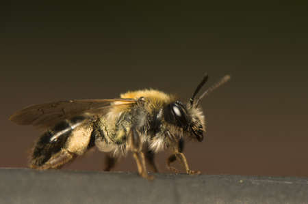 Bee - Apis mellifera Stock Photo - 9892373