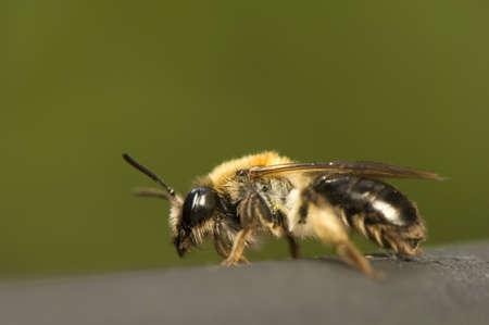 Bee - Apis mellifera Stock Photo - 9892374
