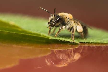 Bee - Apis mellifera Stock Photo - 9892399