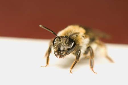 Bee - Apis mellifera Stock Photo - 9892344