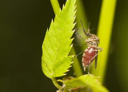 exitus: Fed mosquito