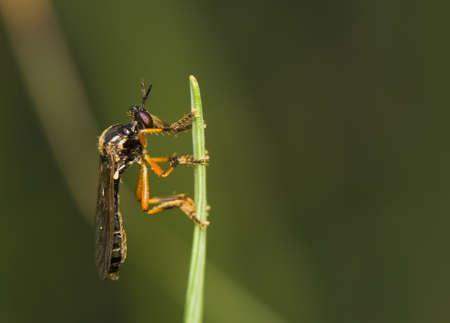elateridae: Dioctria
