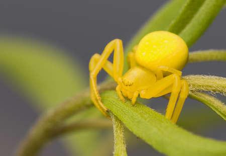 flower crab spider: Misumena vatia