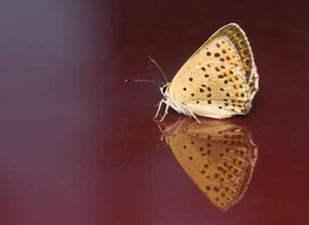 Lycaena tityrus photo