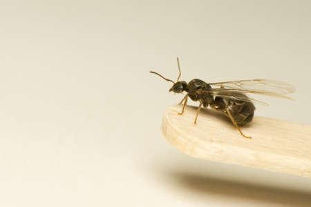 Queen ant photo