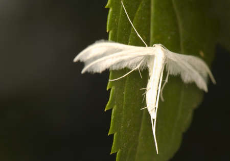 Pterophorus pentadactyla photo