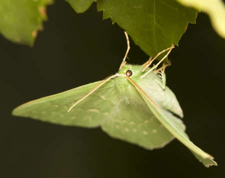 Geometra papilionaria Stock Photo - 10286886