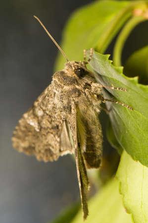 catocala: Mamestra brassicae