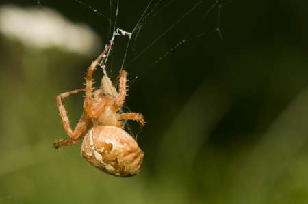 venom: Araneus diadematus - injection of venom