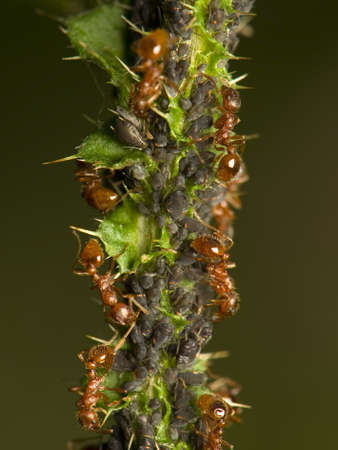Ants milking aphids photo