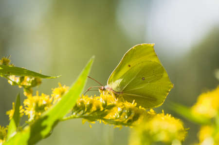 rhamni: Gonepteryx rhamni Stock Photo
