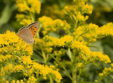 goldenrod: Lycena phlaeas