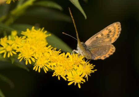 goldenrod: Lycaena tityrus
