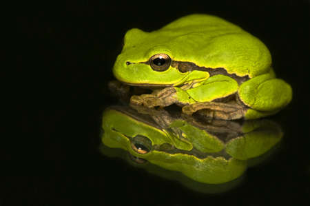 cinerea: Hyla cinerea Stock Photo
