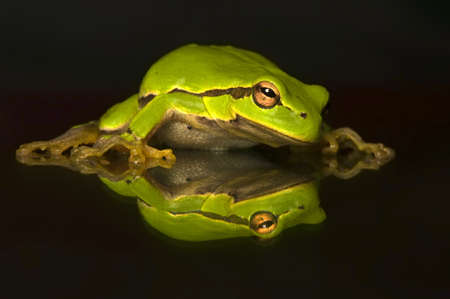 Hyla cinerea Stock Photo