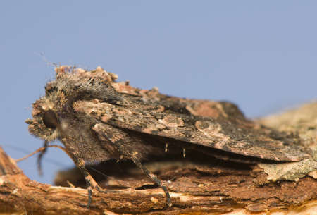 catocala: Mniotype satura