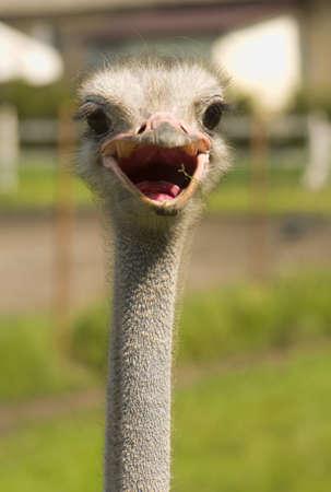 Struthio camelus photo