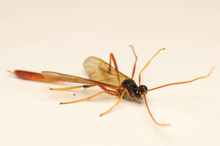 predatory insect: Ichneumonidae Stock Photo