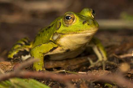 frosch: Rana esculenta