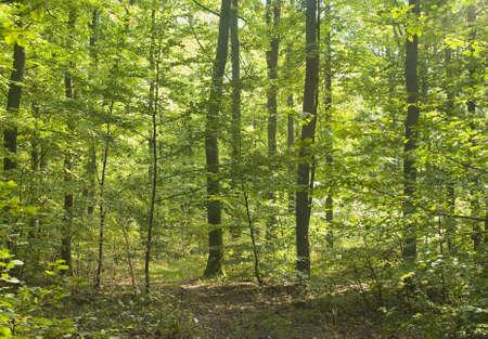 buche: Wald