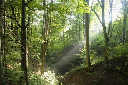 Beech forest photo