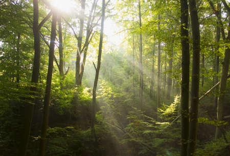 helechos: Bosque de hayas