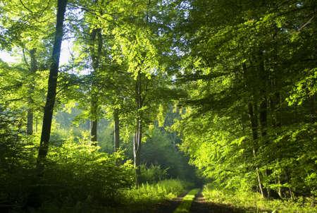 houtsoorten: Weg in beukenbossen