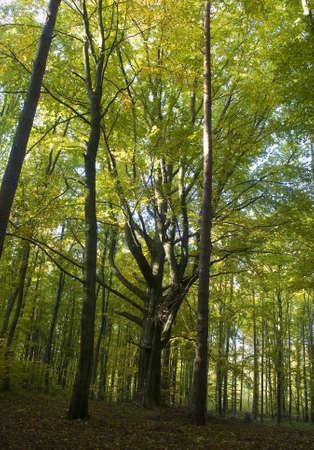 bark rain tree: monument of nature