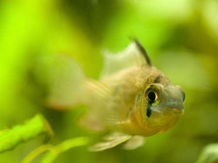 ramirezi: Microgeophagus altispinosus