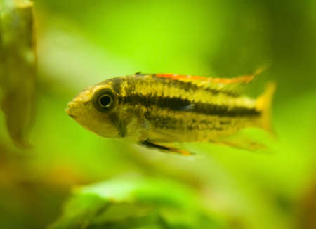 Apistogramma cacatuoides Stock Photo - 11256208