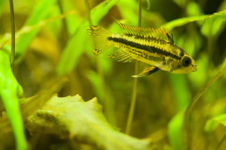 Apistogramma cacatuoides Stock Photo - 11256195