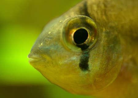apistogramma: Microgeophagus altispinosus
