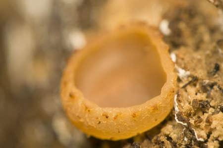 Auricularia auricula-judae, syn. Hirneola auricula-judae Stock Photo - 11494624