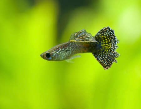 molly fish: Poecilia reticulata