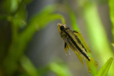 Apistogramma cacatuoides Stock Photo - 11494701