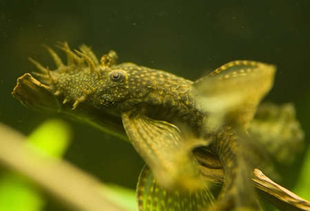 Ancistrus dolichopterus photo