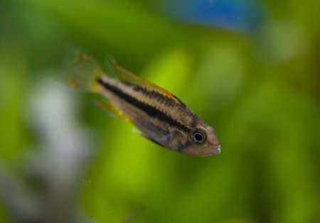 Apistogramma cacatuoides Stock Photo - 11755640