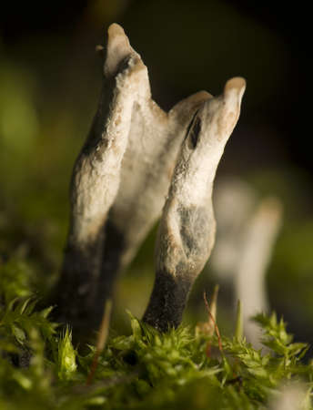 Xylaria hypoxylon photo