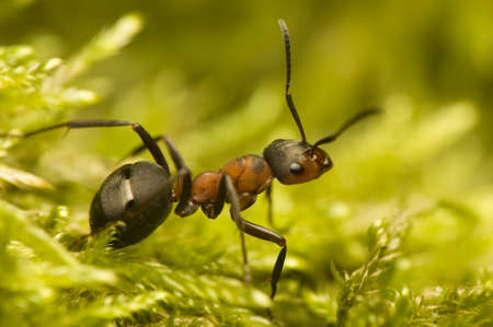 rufa: Ant - Formica rufa Stock Photo