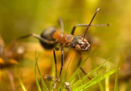 Ant - Formica rufa Stock Photo - 11755759
