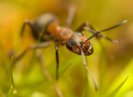 Ant - Formica rufa Stock Photo - 11755812