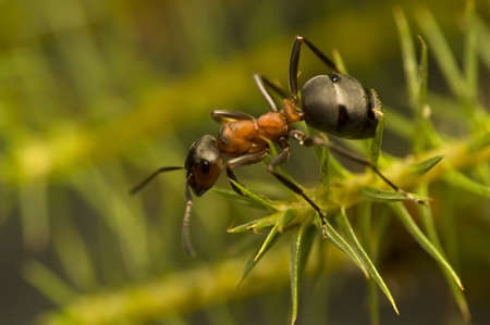 Ant - Formica rufa Stock Photo - 11755766