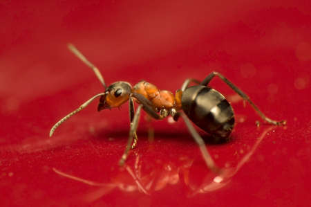 Ant - Formica rufa Stock Photo - 11755840