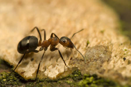 Ant - Formica rufa Stock Photo
