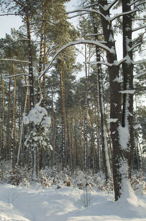 Forest winter photo